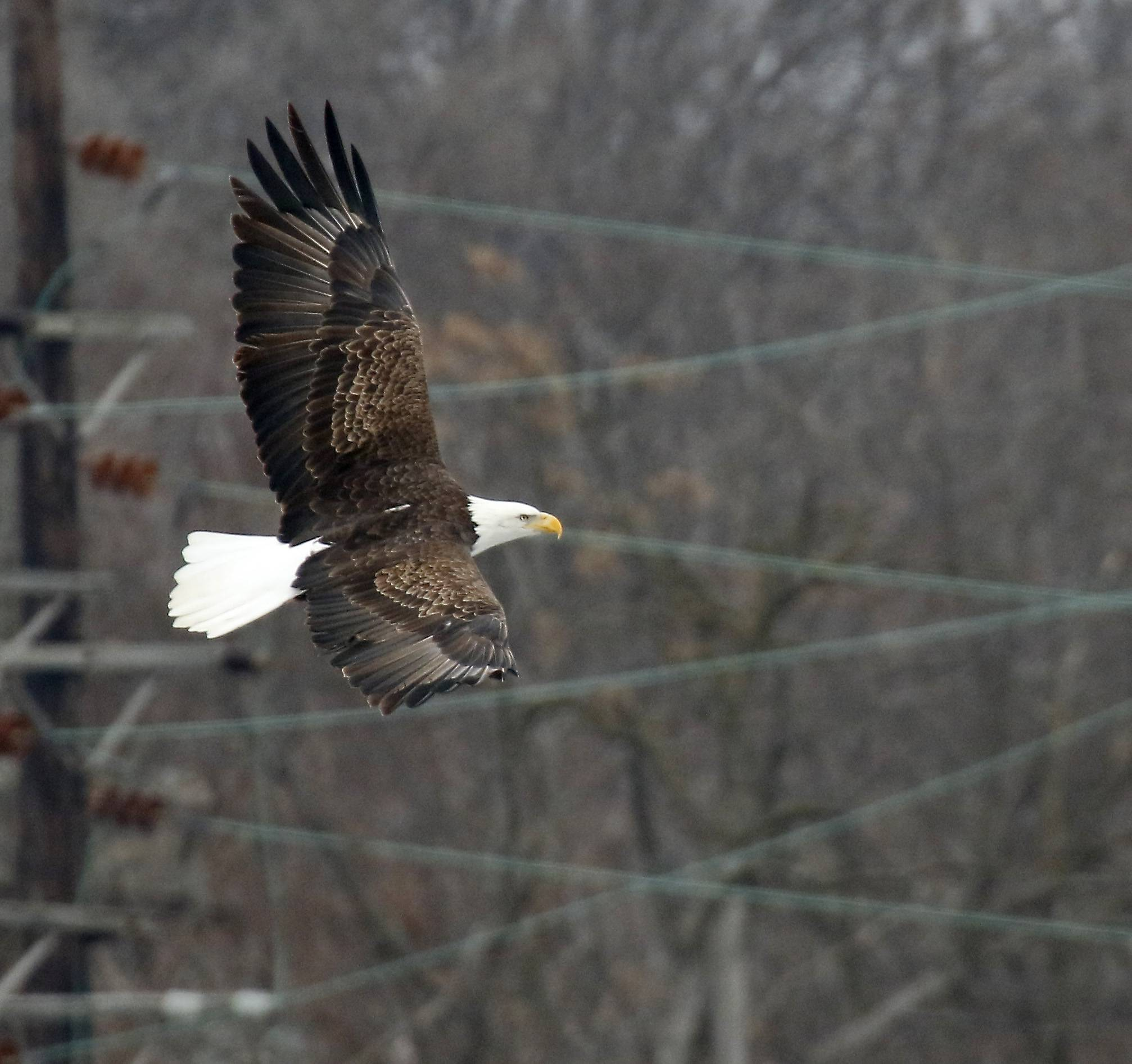 A bald eagle fishes late last week along the Fox River in Elgin.