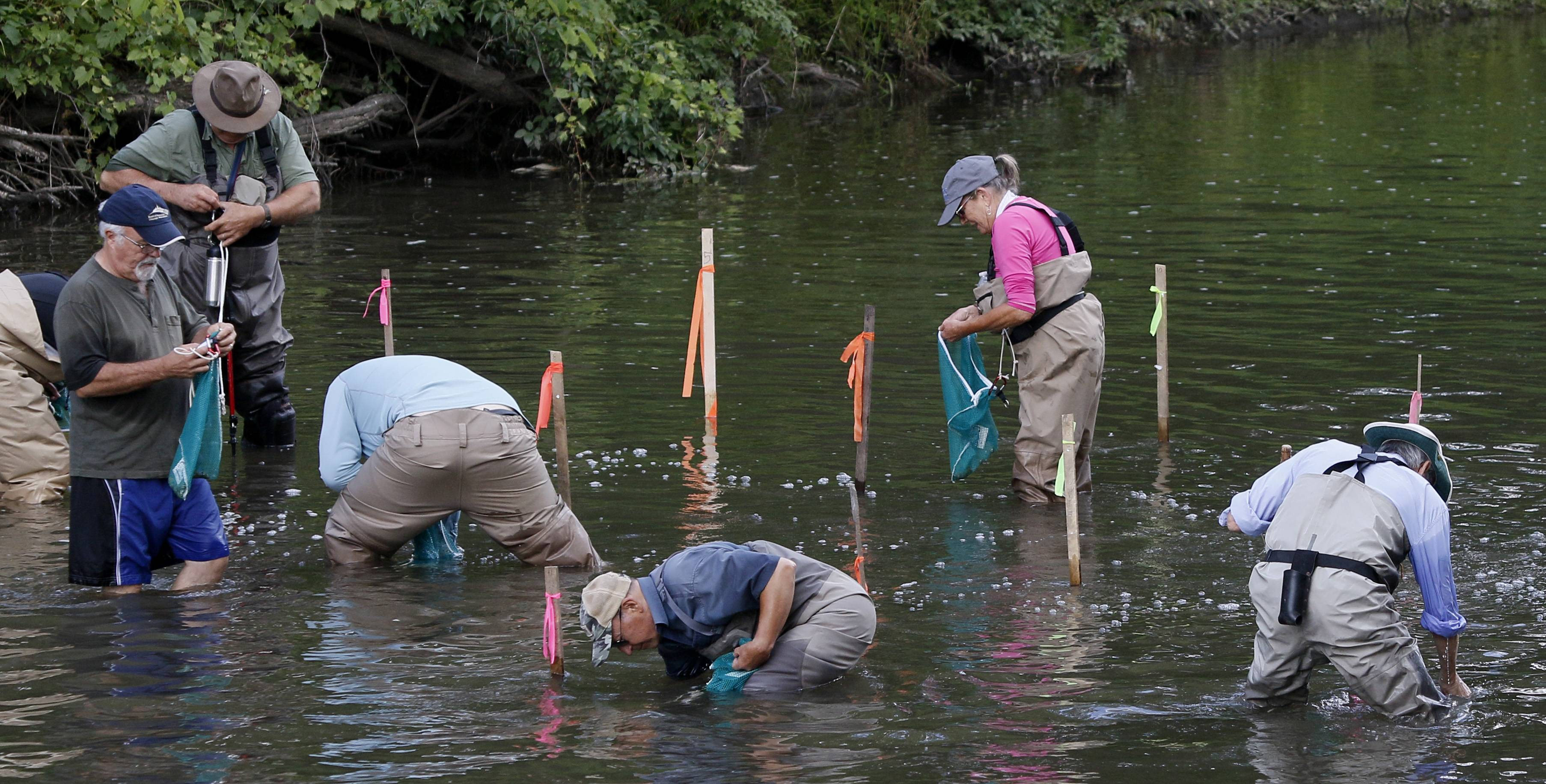 Jessi DeMartini, back, of the Forest Preserve District of DuPage County's Urban Stream Research Center, leads the release of about 500 freshwater mussels into the West Branch DuPage River Saturday near Warrenville. Members of the Illinois Smallmouth Alliance donated their time and financial resources to assist the project.