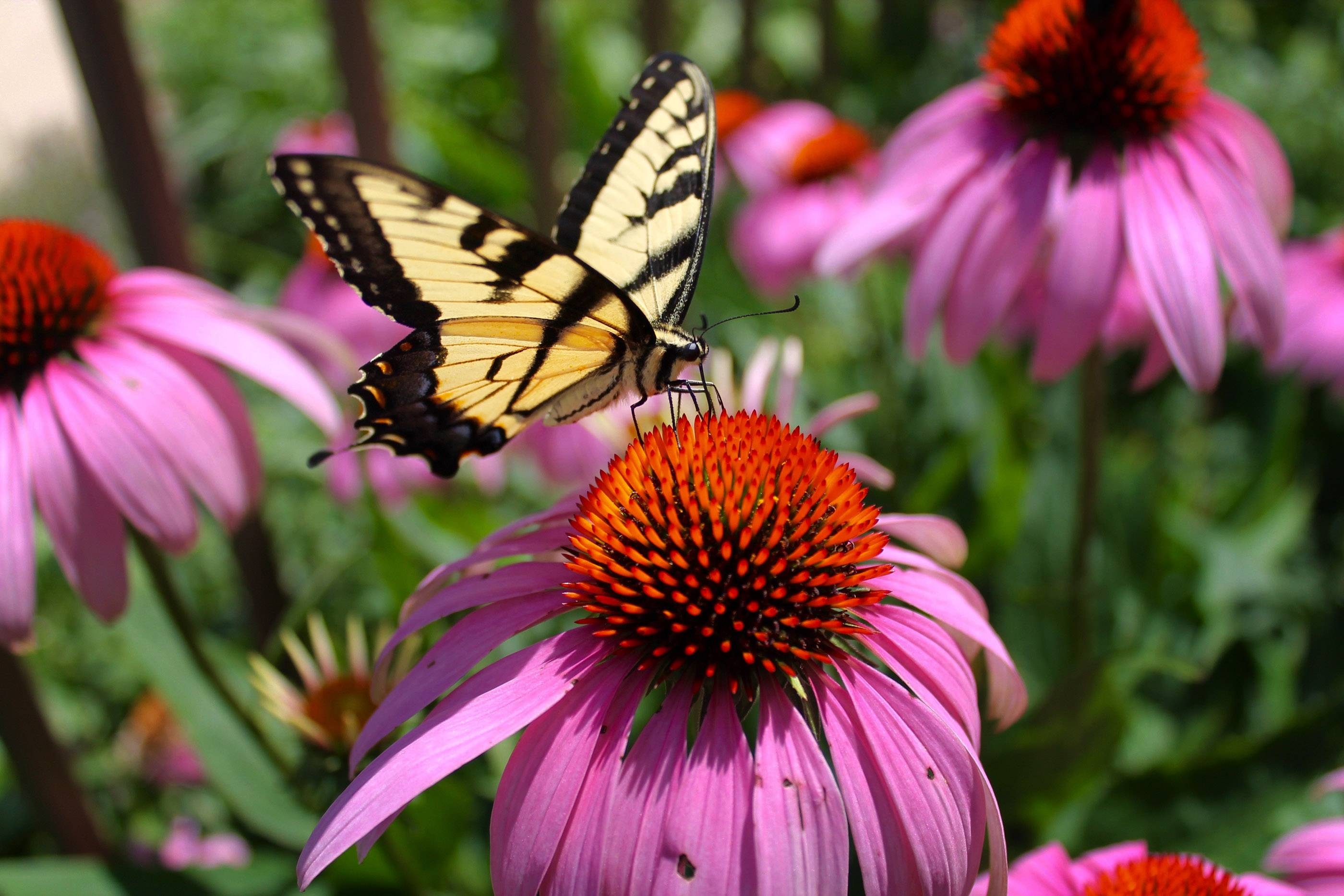 A butterfly rests on a purple coneflower in an Antioch backyard in July of 2016.