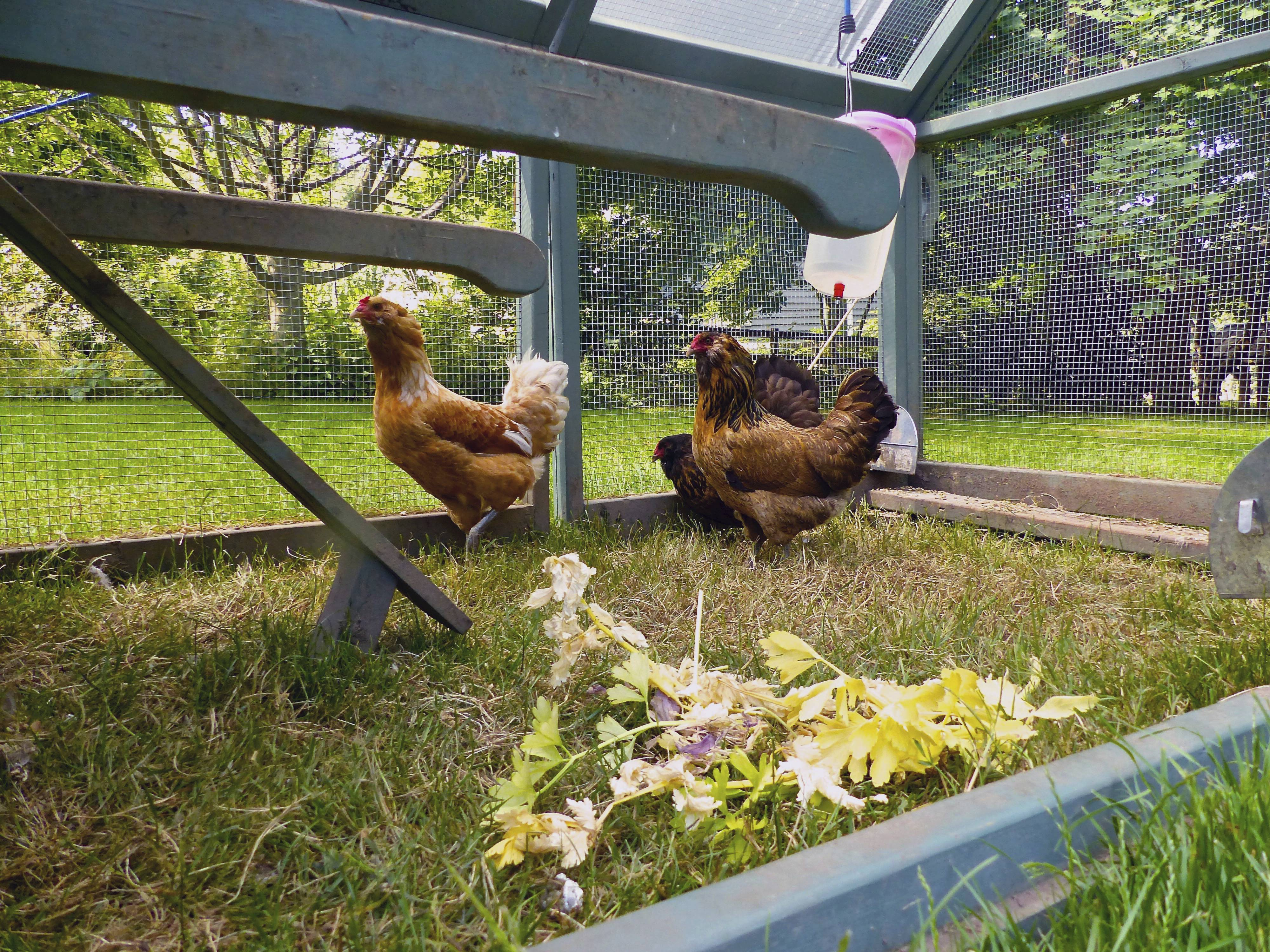 Sugar Grove gives OK for backyard chickens on trial basis