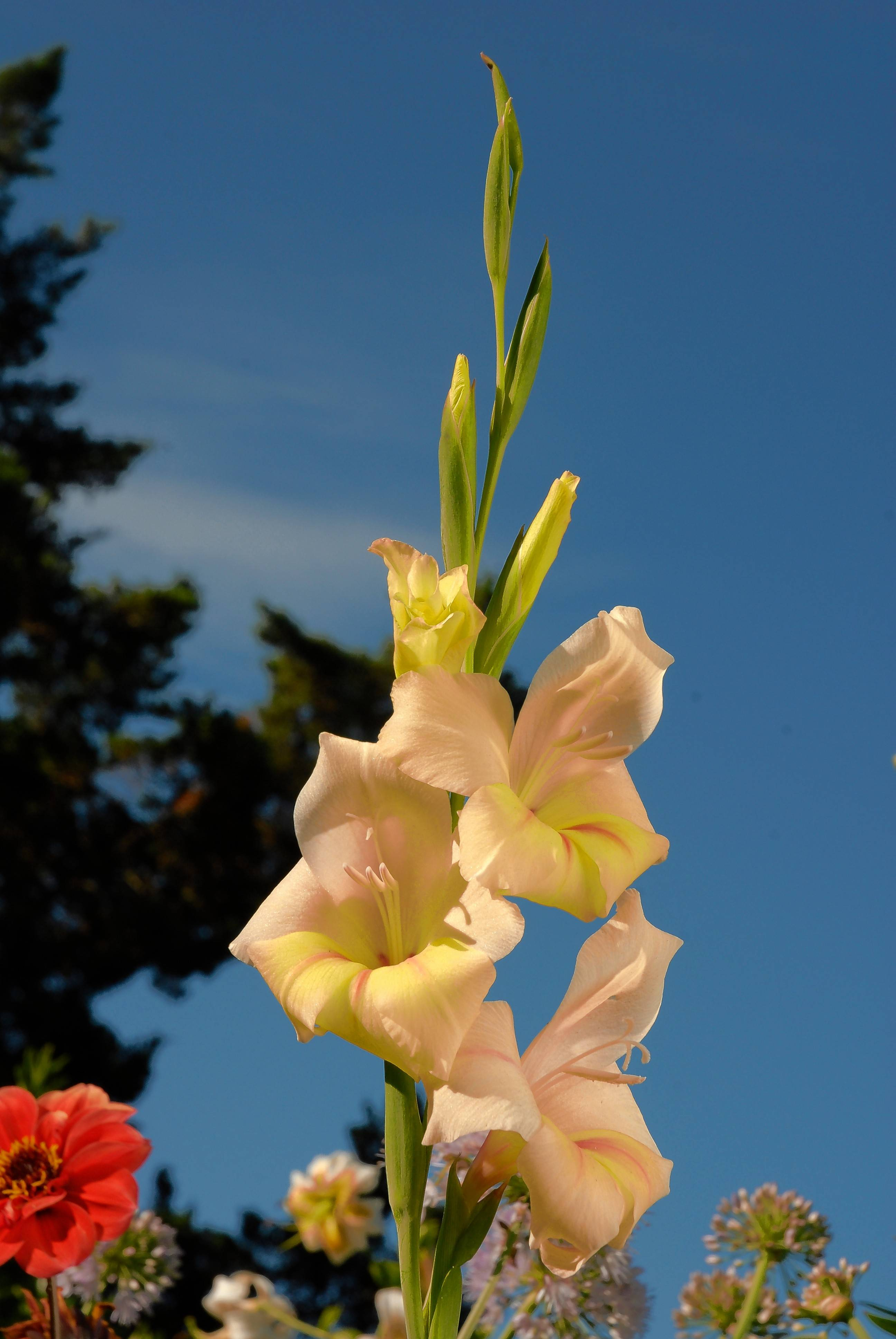 Showy gladiolus need to be cut when the lowest blossoms show color.