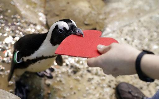 A penguin gets a heart-shaped nesting material from biologist Spencer Rennerfeldt at the California Academy of Sciences Tuesday, Feb. 13, 2018, in San Francisco. Academy staff handed out the hearts to the penguins who naturally use similar material to build nests in the wild. (AP Photo/Marcio Jose Sanchez)