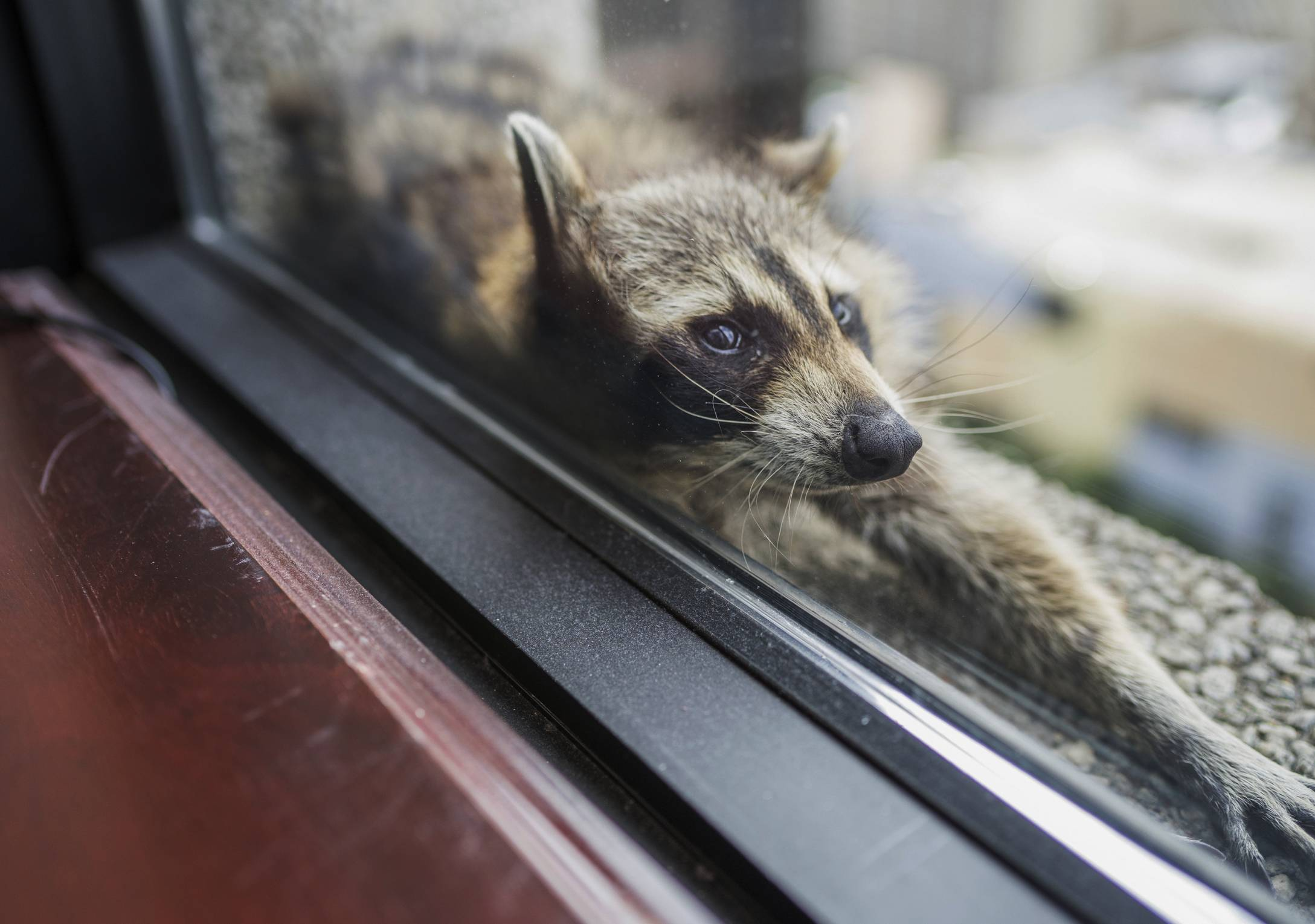 A raccoon stretches out Tuesday on a windowsill high above downtown St. Paul, Minnesota. The raccoon stranded on the ledge of a building in St. Paul captivated onlookers and generated interest on social media after it started scaling an office building.