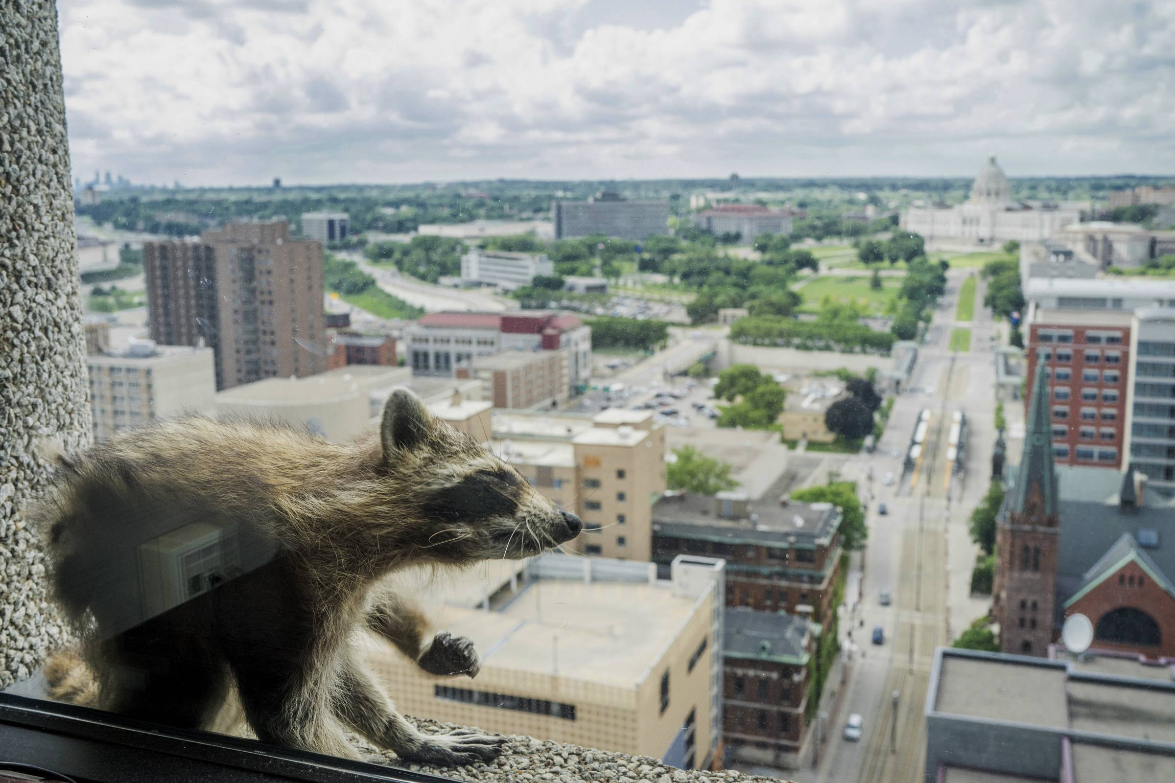 A raccoon stretches itself on the window sill of the Paige Donnelly Law Firm on the 23rd floor of the UBS Tower in St. Paul.