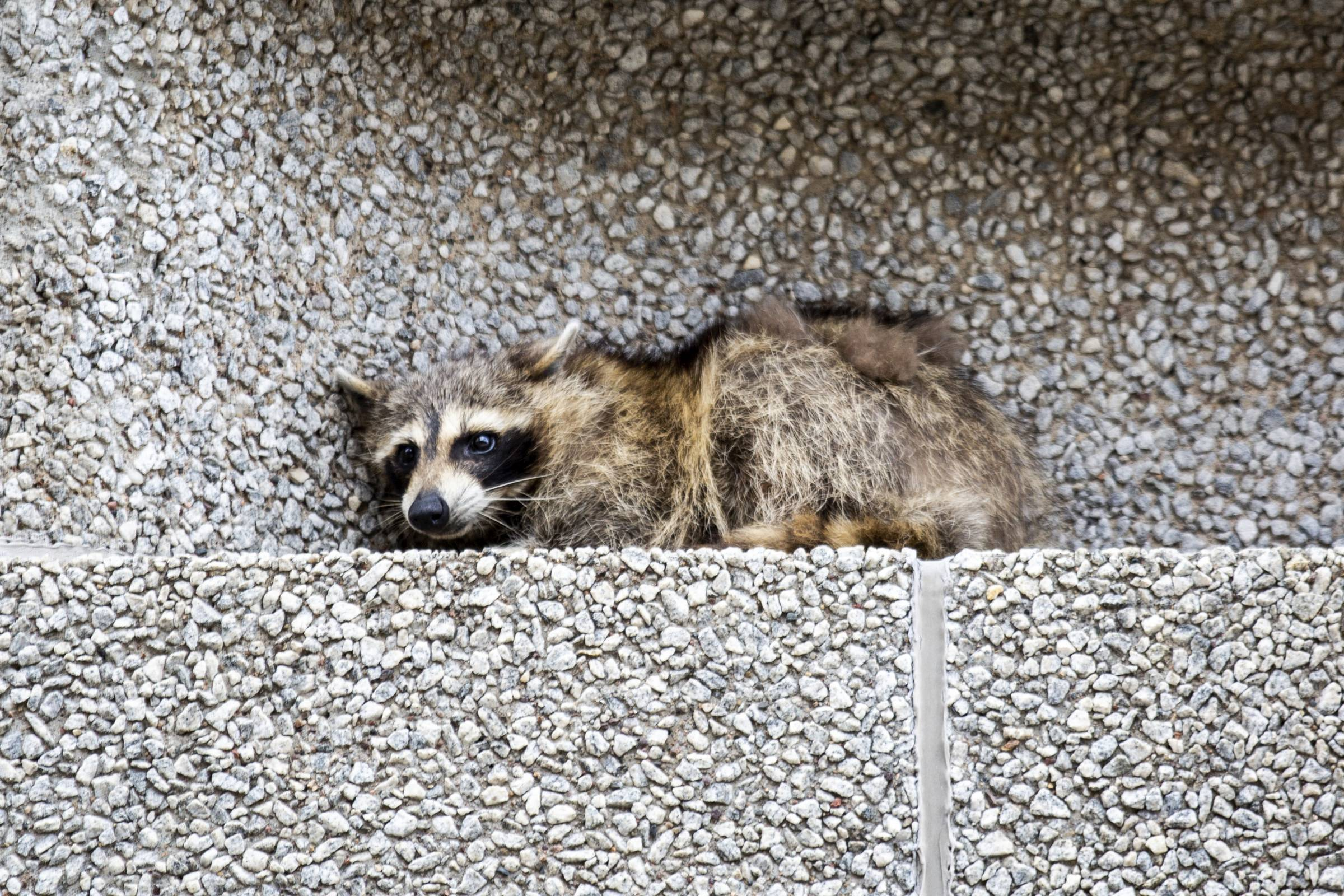 A raccoon sits on a ledge on the Town Square building in downtown St. Paul.
