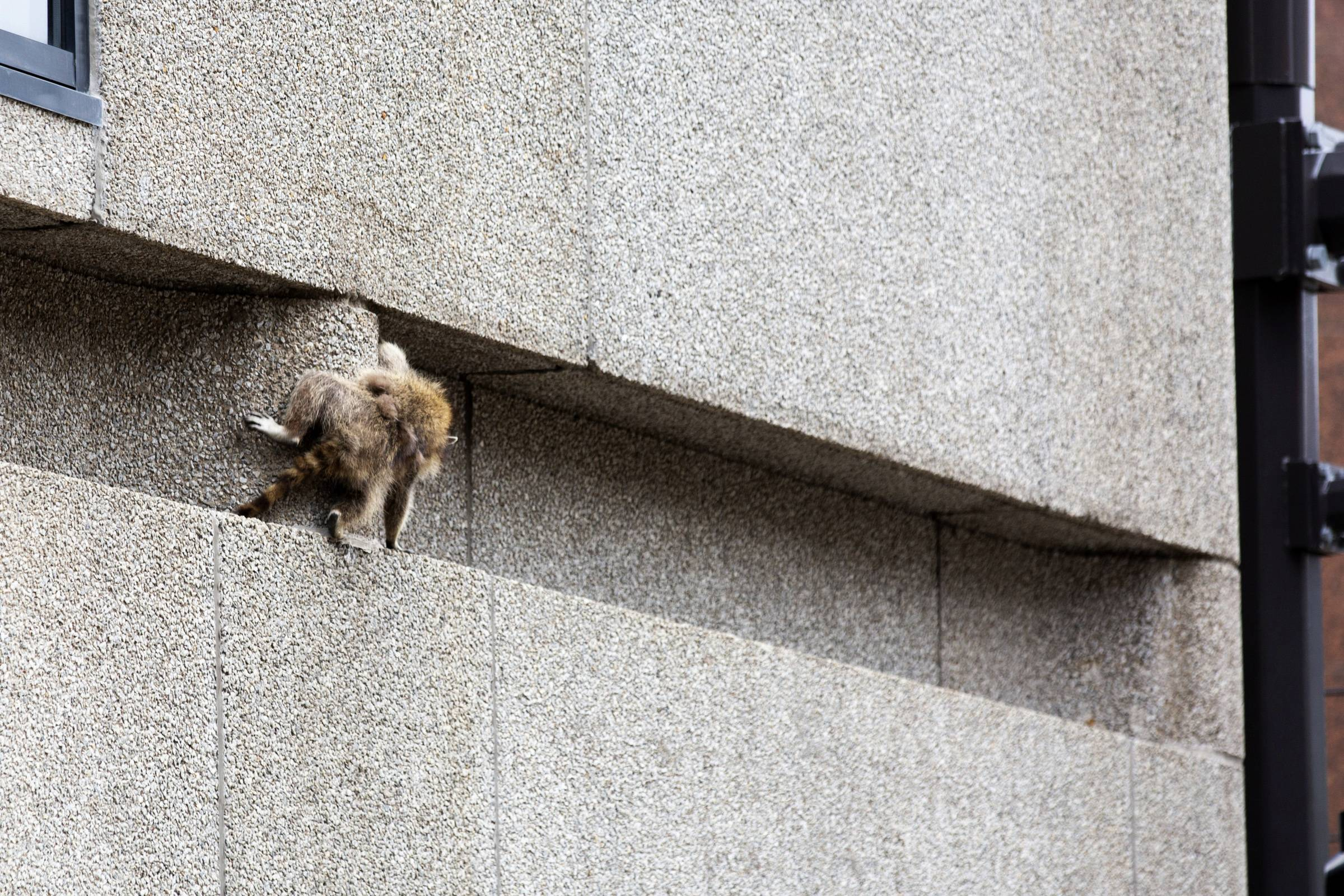 A raccoon scrambles along a ledge on the side of the Town Square building in downtown St. Paul.