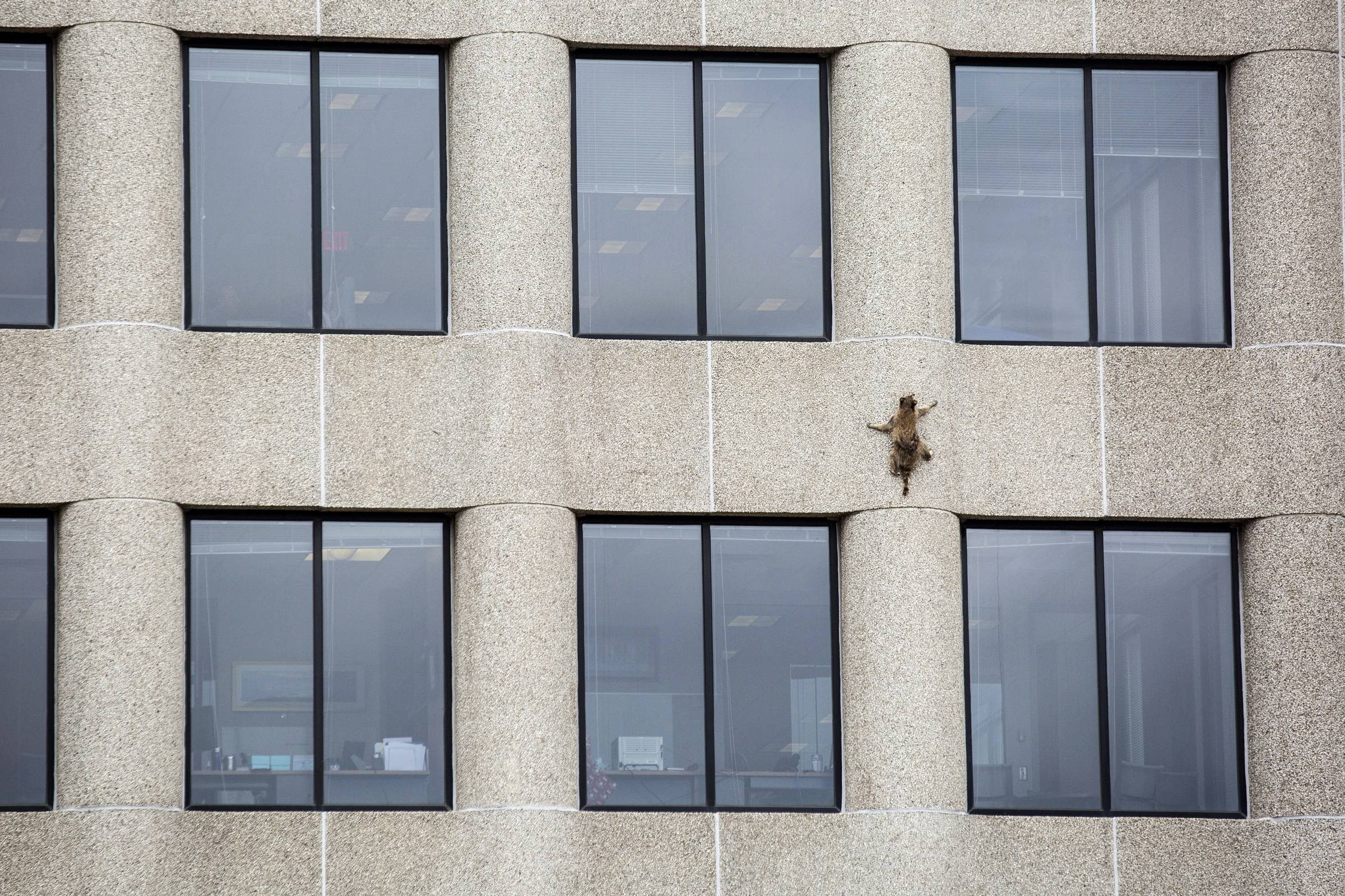 A raccoon scurries up the side of the UBS Tower in St. Paul.