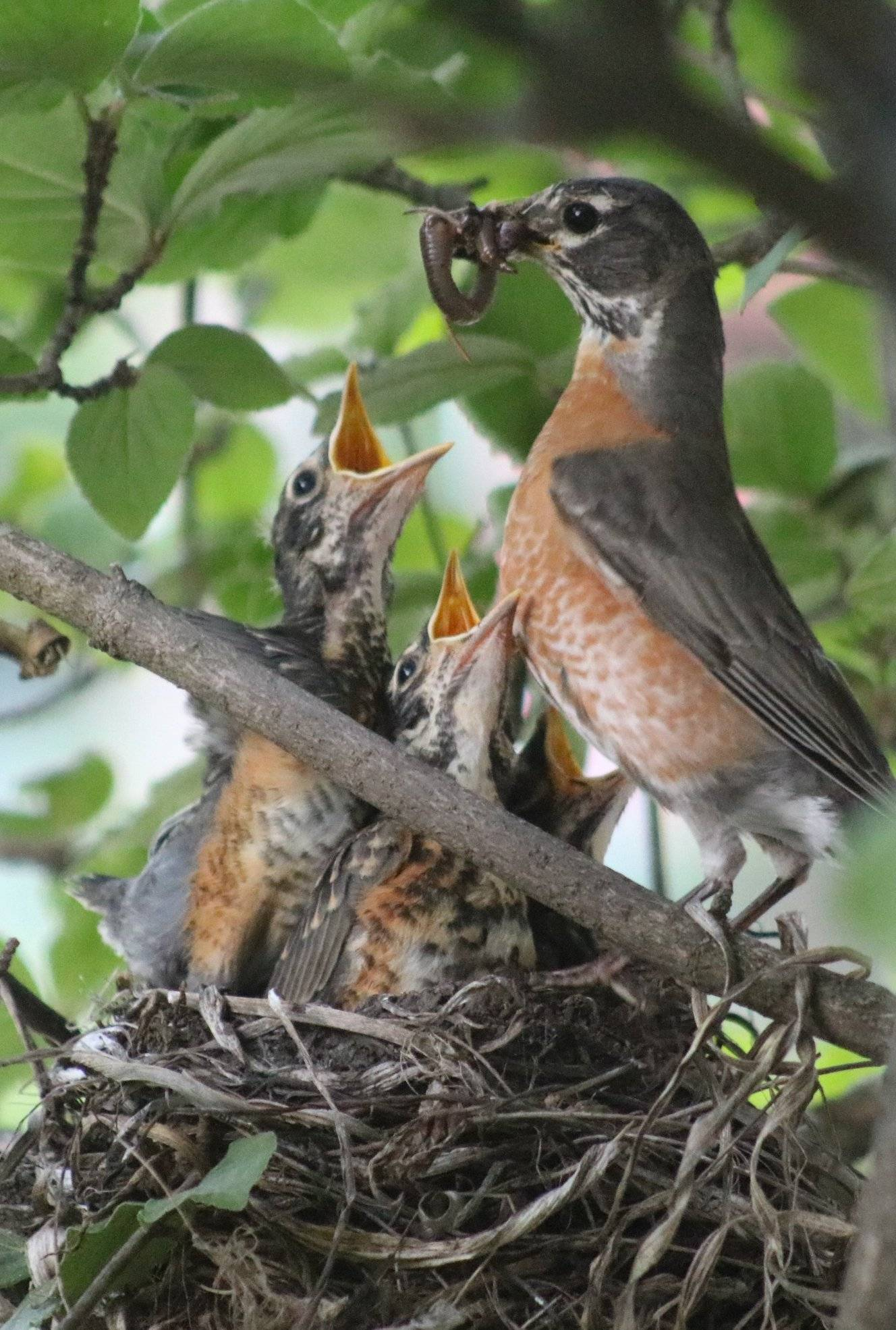 A robin feeding her young in Naperville.
