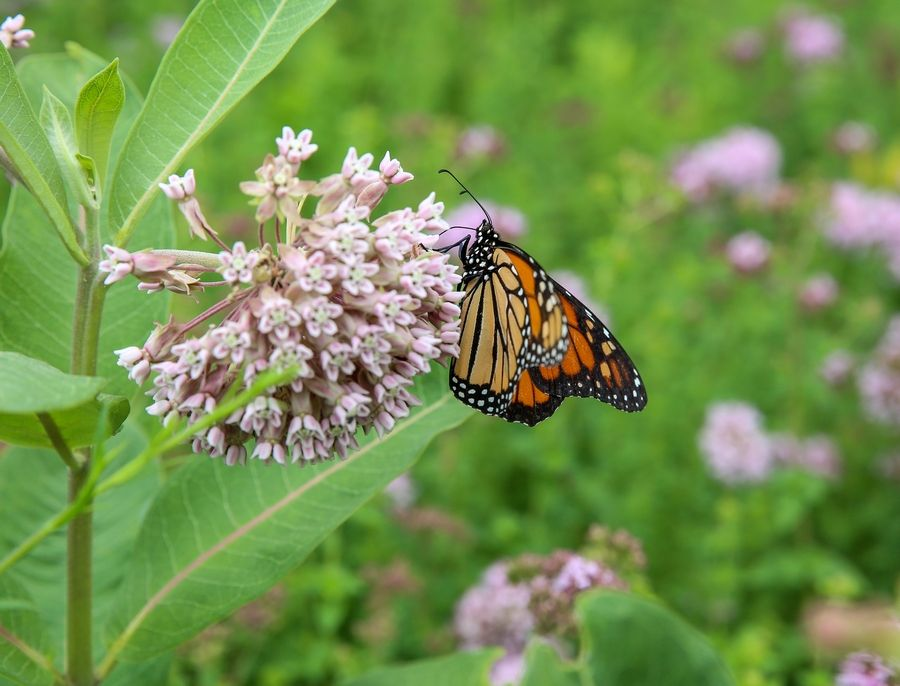A monarch visits a milkweed plant at the pollinator garden outside the Naperville post office on Ogden Avenue. The postal service said it plans to convene a meeting with gardeners to discuss the future of the garden.