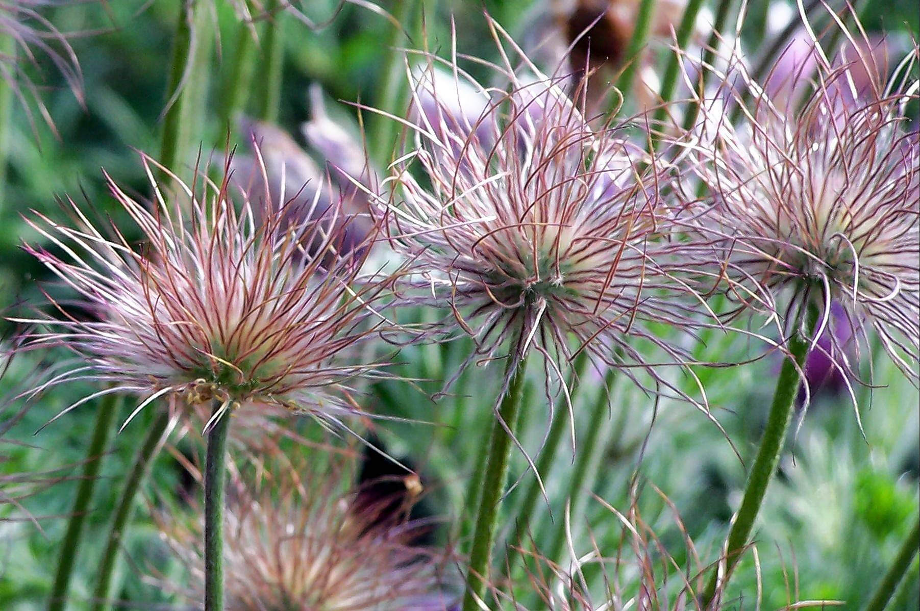 The seed heads of pasque flowers are as pretty as their flowers.