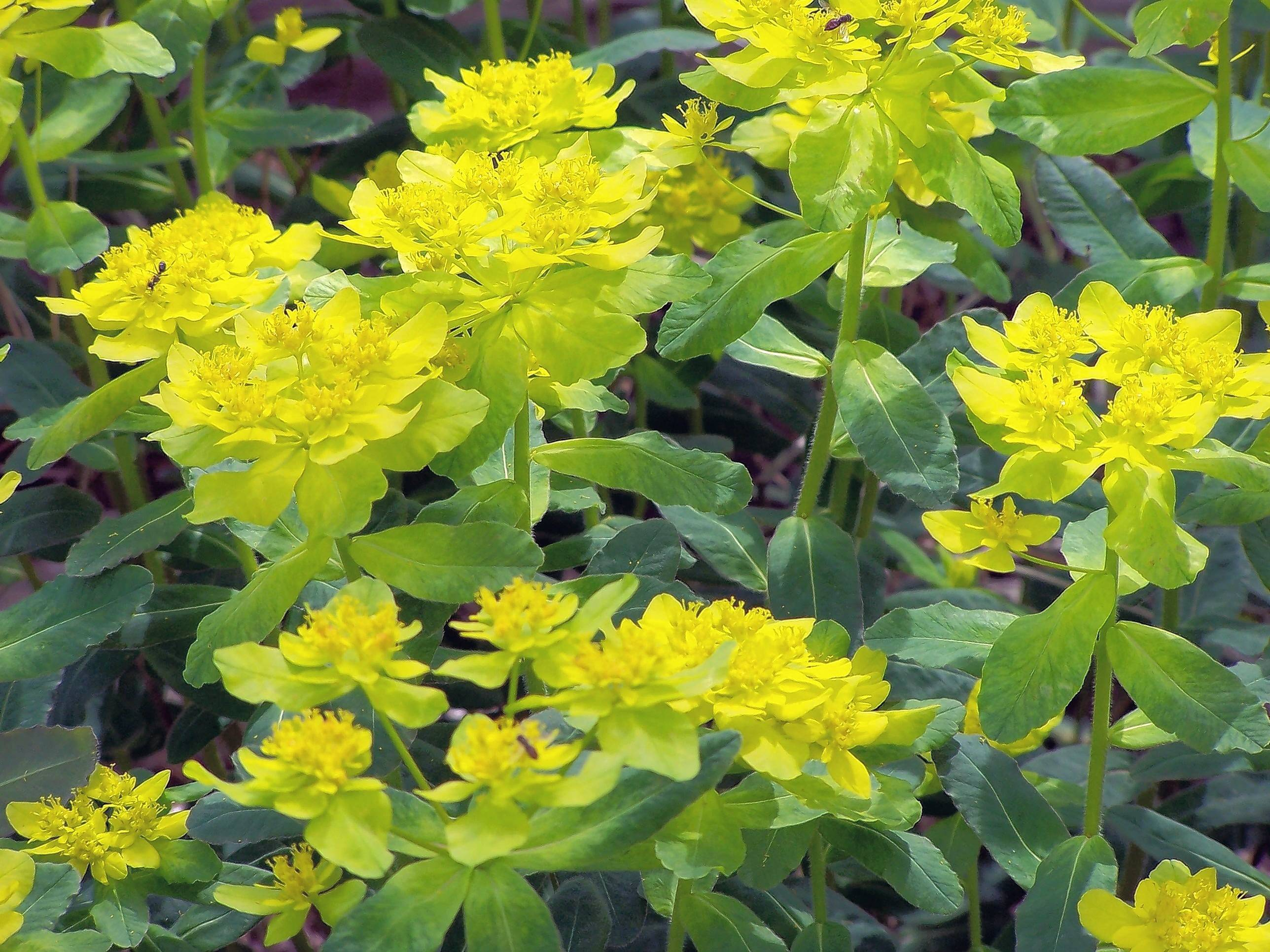 Euphorbia polychroma brightens the rock garden in spring.