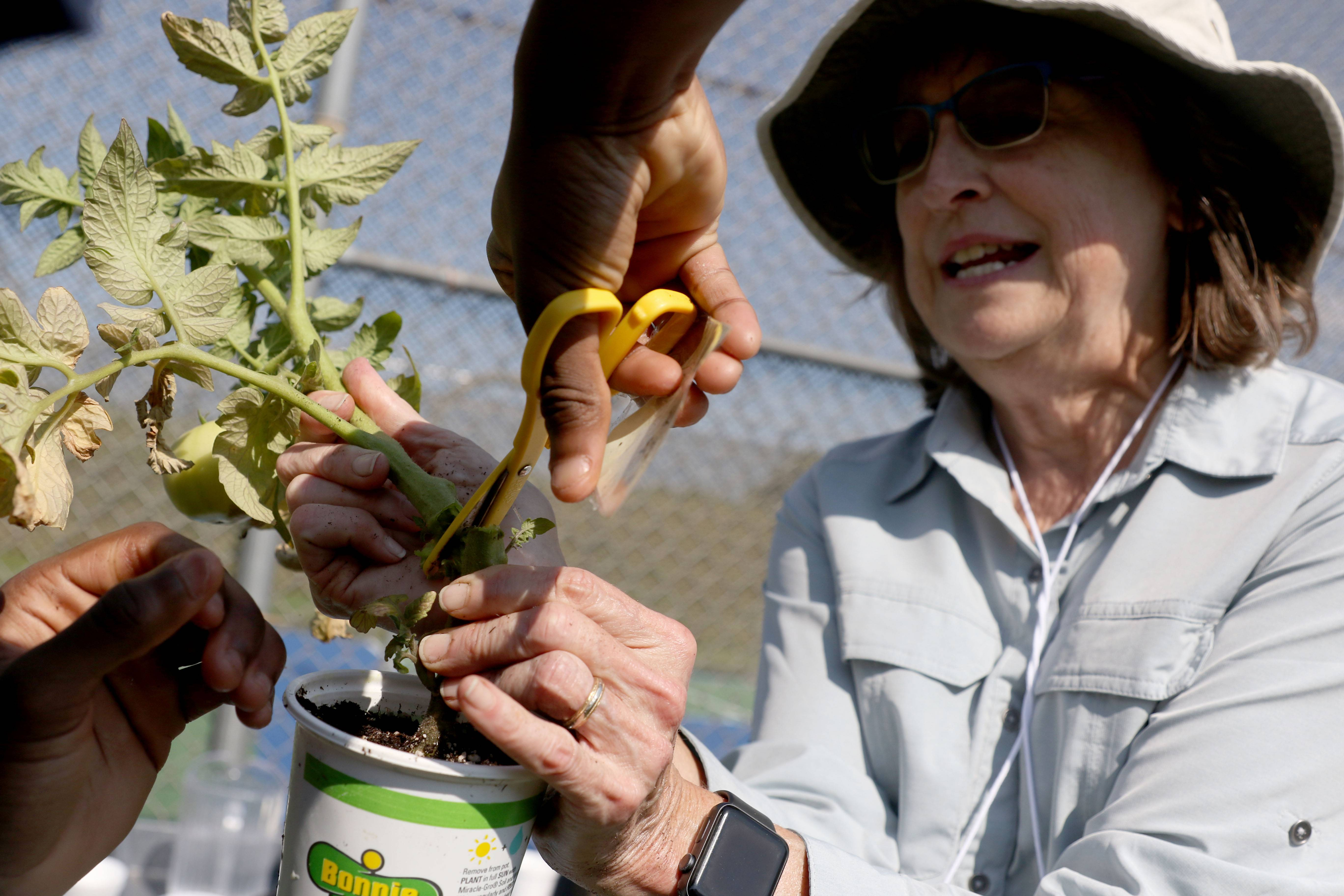 Volunteer Master Gardener Donna Plonczynski helps a Kane County Juvenile Justice Center detainee trim a tomato plant so other plants can be propagated from it.