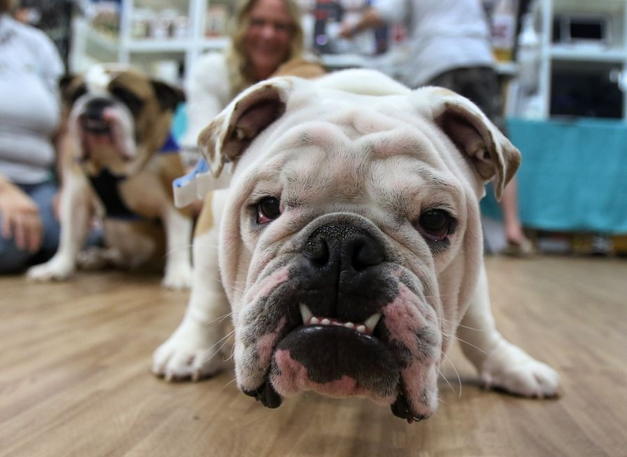 Murphy, an English bulldog, greets visitors at Adopt-A-Bulldog during a previous Chicago Pet Show at the Libertyville Sports Complex. The event features pet services, pet products, entertainment, magic acts, and a chance to adopt pets from local rescue groups and shelters.