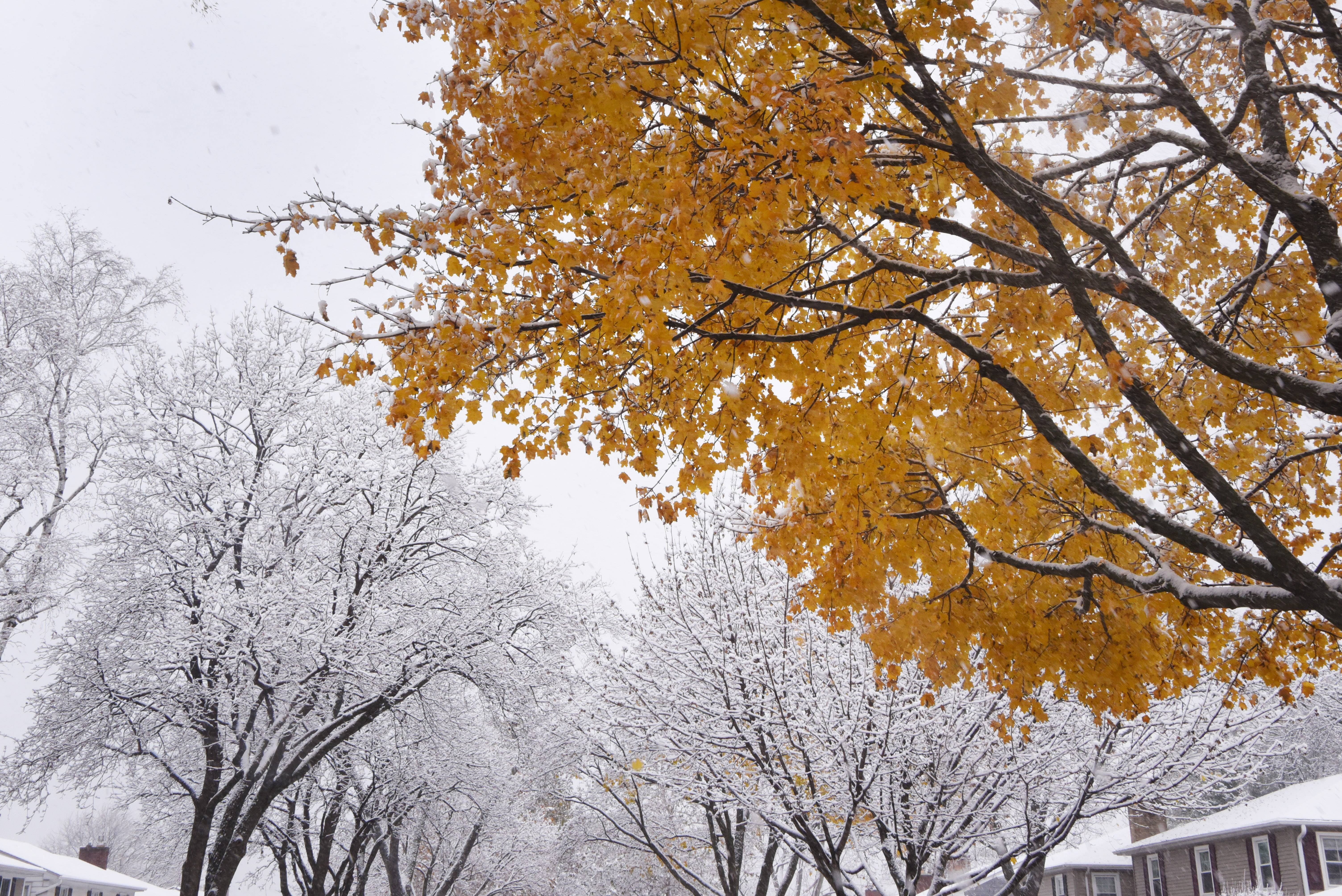Snow clinging to the branches of bare trees contrasts with the golden leaves of a maple tree in the Pioneer Park neighborhood of Arlington Heights Friday morning.