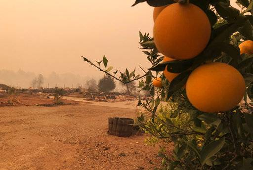 This photo shows orange and lime trees at a burned-out property in Paradise, Calif., Friday, Nov. 9, 2018, after a wildfire swept through the area.