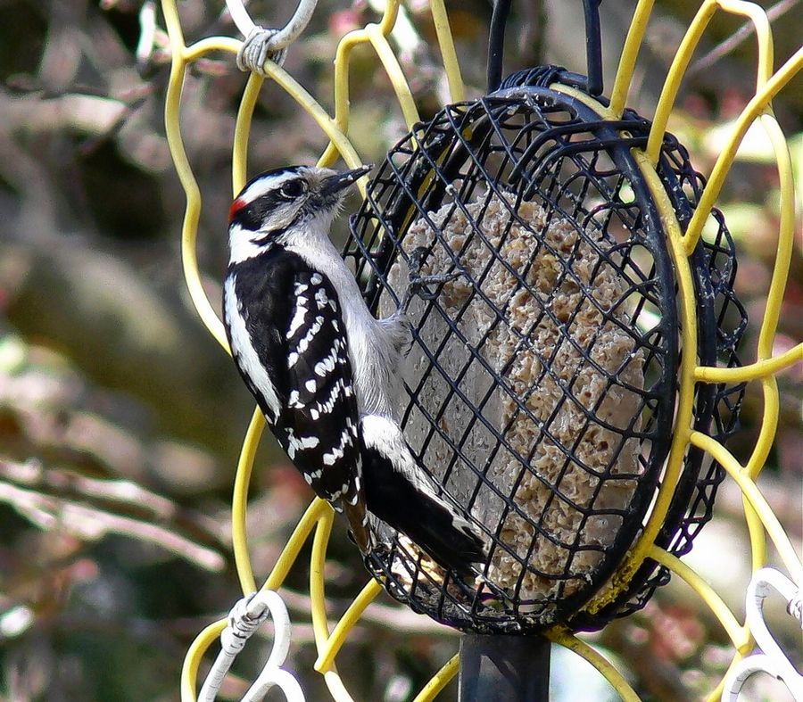 This downy woodpecker is feeding on suet -- animal fat. Note its toe arrangement and how the tail is used for support.