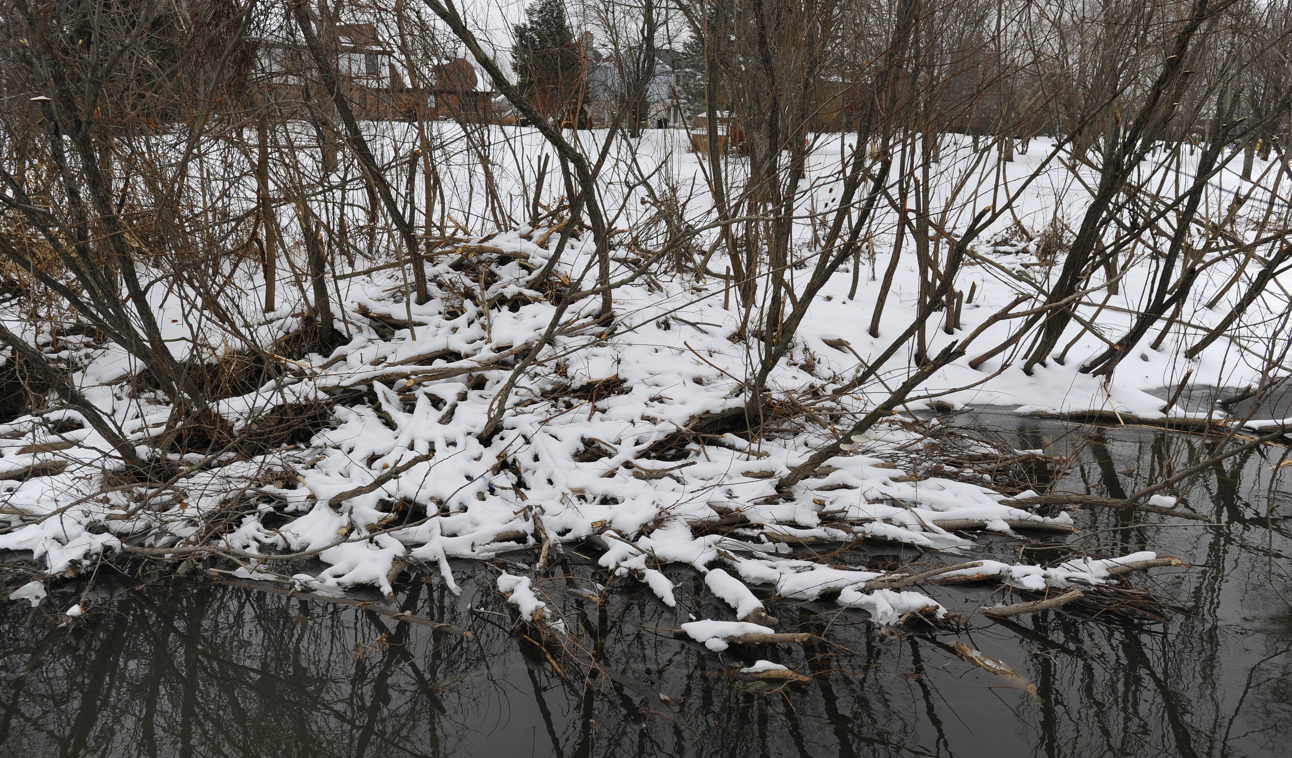 Prospect Heights plans to remove beavers that have destroyed trees and built a dam in a creek near Palatine and Schoenbeck roads because of flooding concerns.